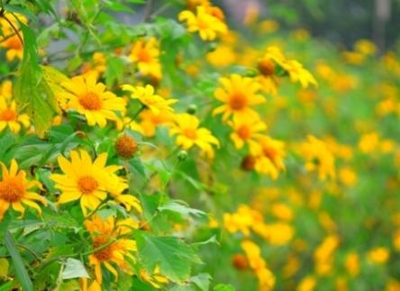 Có một Đà Lạt vàng lãng mạn với rừng hoa dã quỳ